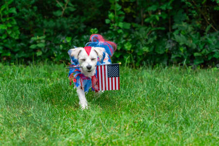 Small dog with eyes closed carrying flag in grass Stock Photo