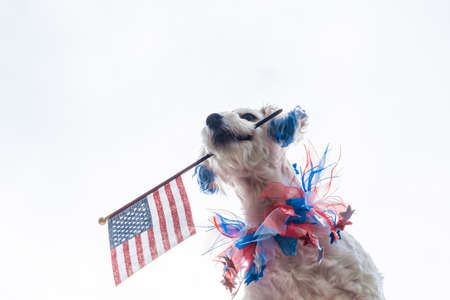 Patriotic dog with blue ears holding american flag with white background