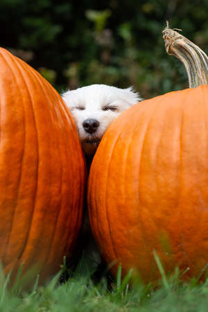 Small white dog sleeping cozy between two big orange pumpkins outside in grass Banco de Imagens
