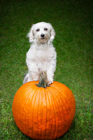 Small dog looking up at camera with paws on big pumpkin