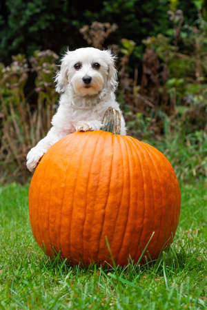 Small white dog leaning on pumpkin in grass