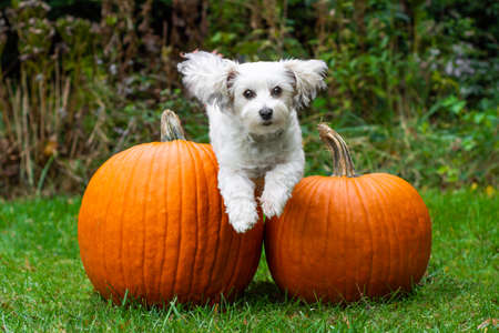 Small white dog jumping over two big pumpkins in grass Stok Fotoğraf