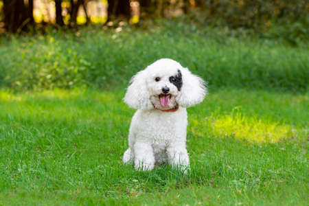 Small dog with black eye patch sitting outside in grass with tongue out