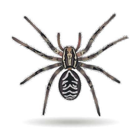 tarantula: Tarantula wolf spider (Lycosa tarantula) on white background. Vector illustration.