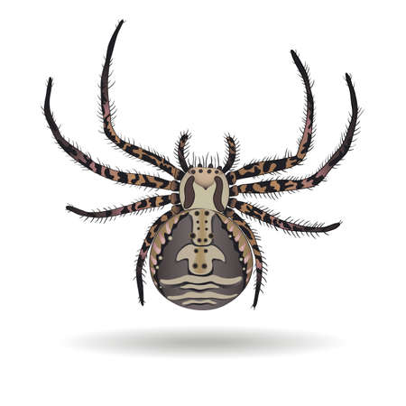 xysticus: Crab spider (Xysticus ulmi) on white background. Vector illustration.