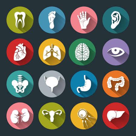 organos internos: Conjunto de vector de iconos médicos con órganos humanos en estilo plano con largas sombras. Iconos blancos médicas en base de color. Iconos planos anatomía humana para la web y las aplicaciones móviles. Vectores