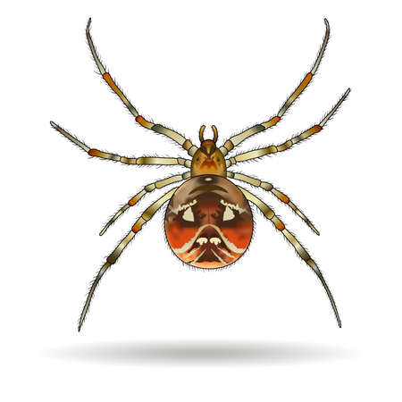 araneae: Spider isolated on white background. Achaearanea lunata (Araneae). Vector illustration.