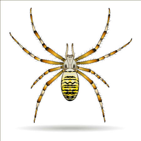 spidery: Spider isolated on white background. Argiope bruennichi. Vector illustration. Illustration