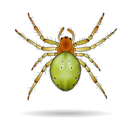 araniella: Spider isolated on white background. Araniella cucurbitina (Cucumber spider). Vector illustration.