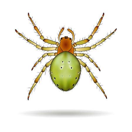 Spider isolated on white background. Araniella cucurbitina (Cucumber spider). Vector illustration.