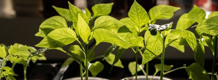 seedlings of green sweet pepper. Green leaves on a background of the sun