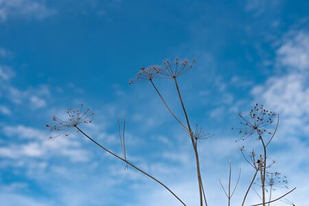 dry flower of the umbrella family - Heracleum against the blue sky. Hogweed - a poisonous plant