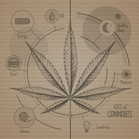 Hand drawing realistic illustration of cannabis leaf on craft carnboard background. Many uses of cannabis. Infographic