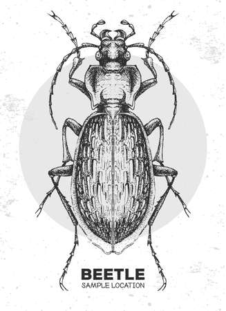 Realistic hand drawing Ground beetle. Artistic Bug. Entomological vector illustration