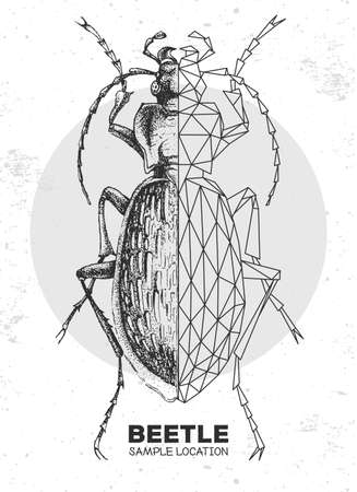 Realistic hand drawing and polygonal ground beetle. Artistic Bug. Entomological vector illustration