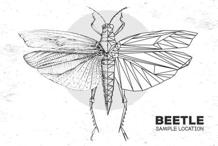 Realistic hand drawing and polygonal grasshopper. Artistic Bug. Entomological vector illustration