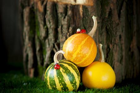 mini farm: Small decorative striped pumpkins on green grass with an old stump