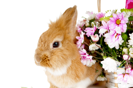 Pet brown rabbit near the basket with spring flowers, isolated on white backgroundPostcard . photo