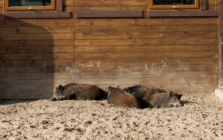 formidable:   group of wild boars resting near pigsty in zoo