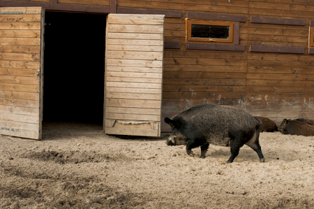 formidable: wild boar walks to  pigsty