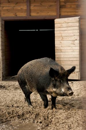 wild boar: wild boar near pigsty