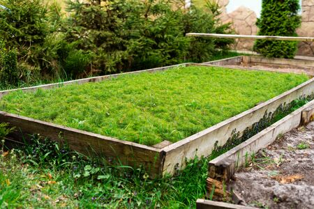 wooden beds with seedlings of small pine trees