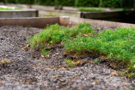 seedlings of small pine in wooden beds