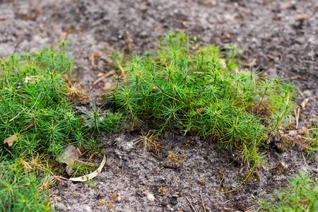 seedlings of small pine trees in the forest