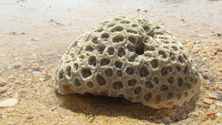 remnant: The destroyed coral wich blowed by sea current to thebeach.