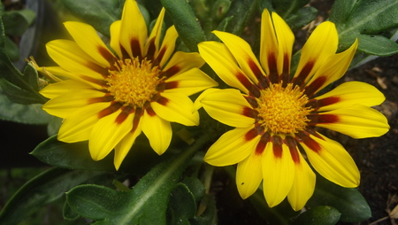yellow tigers: Tiger eyes compositae plant 1.