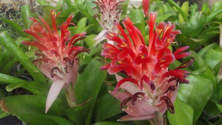 guzmania: Urn plant. Aechmea fasciata