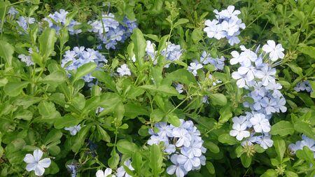 auriculata: Cape leadwort,Plumbago auriculata Lam.