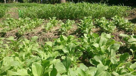 plot: Vegetable plot for household cooking.