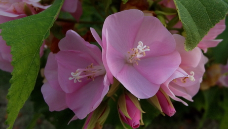 malvaceae: The Dombeya Flower or Tropical Hydrangea, in Thailand we call Hawii dombeya.