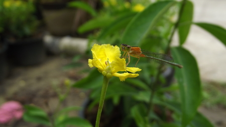 damselfly: Damselfly , the predator who help the farmer to get rid  the pest in rice field.