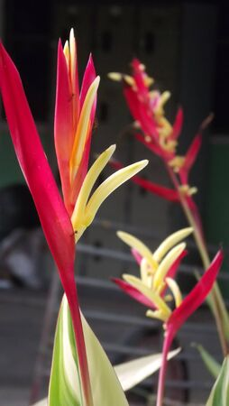 heliconia: Heliconia  in the name of Lady Di.