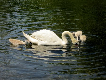 White swan, mute swan, and cygnets water ripples