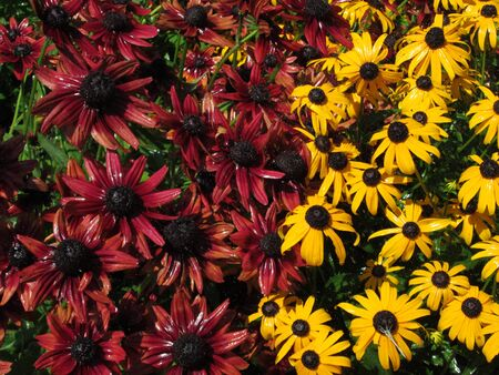 hirta: Cherry Brandy Rubeckia and Black-eyed Susan Rubeckia hirta, rain, sunshower