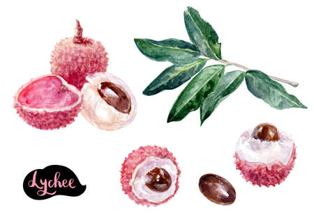 Lychee fruits hand-drawn watercolor illustration isolated on white background.