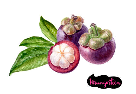 mangosteen watercolor illustration