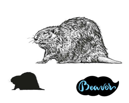 Beaver vector hand draw the illustration isolated on white background. Vettoriali