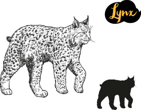 Lynx vector hand drawn illustration.