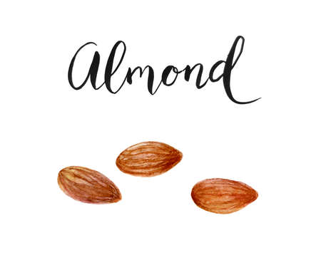 almond seed watercolor hand draw illustration isolated on white