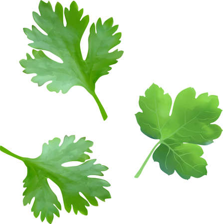 Leaves of parsley isolated on white background. Spices. Vector illustration.