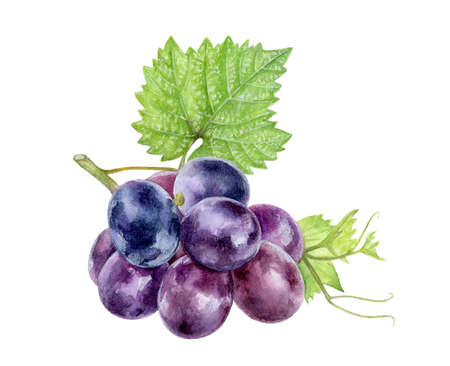 Grape watercolor had drawn illistration isolated on white.