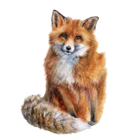 Fox watercolor hand draw illustration isolated on white background. Stock Photo