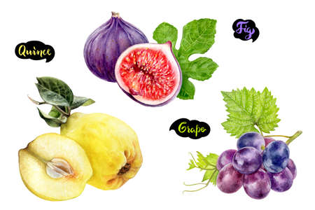 Grape fig quince set fruit watercolor isolated on white background 写真素材
