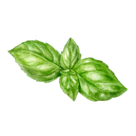 Basil leaf watercolor isolated on white background Stockfoto