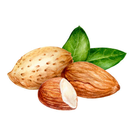 Almond composition watercolor isolated on white background Фото со стока