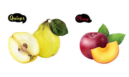 Quince plum set fruit watercolor isolated on white background